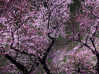 夜桜の写真・画像素材[1057986]