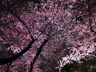 夜桜の写真・画像素材[1057987]