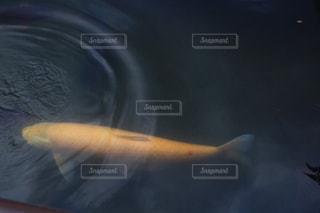 黄金の錦鯉の写真・画像素材[1580771]