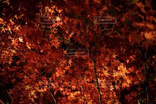 紅葉の写真・画像素材[1056271]