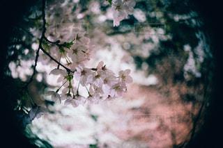 桜の写真・画像素材[1137021]