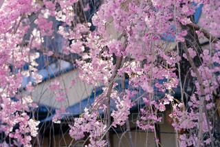 桜の写真・画像素材[1137025]