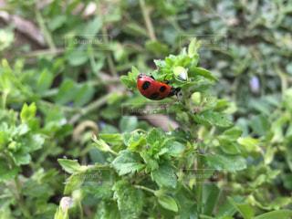 春に呼ばれたテントウ虫の写真・画像素材[1059710]