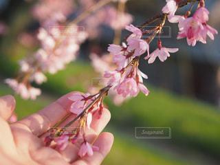 花と手の写真・画像素材[1083317]