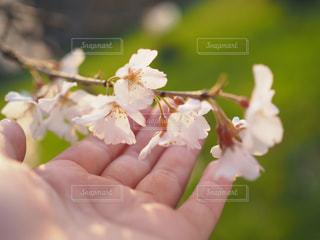花を持っている手の写真・画像素材[1083322]