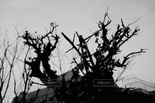 梅の木(モノクロ)の写真・画像素材[1056902]