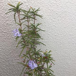ローズマリーの花の写真・画像素材[1058064]