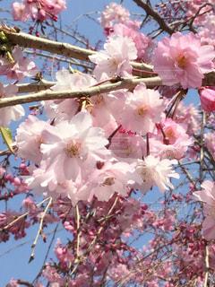 スカイブルーとピンクのしだれ桜の写真・画像素材[1091564]