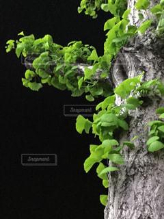 いちょうの木に若葉の写真・画像素材[1125463]