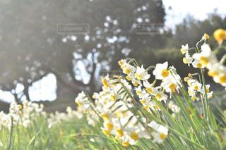 水仙の写真・画像素材[1057916]