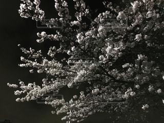 夜桜の写真・画像素材[1058234]