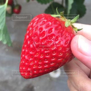 赤い果実を持っている手の写真・画像素材[1058344]