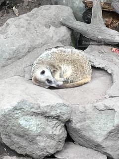寝ているミーアキャットの写真・画像素材[1058447]