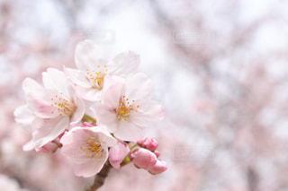 桜🌸の写真・画像素材[1058739]