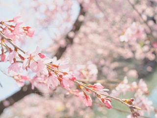 川辺の桜の写真・画像素材[1091956]
