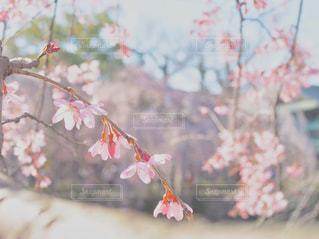 お団子みたいな桜の写真・画像素材[1091974]