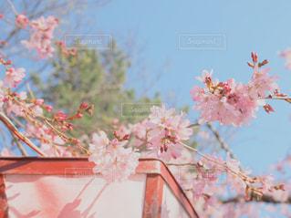 灯篭にかかる桜の写真・画像素材[1091979]