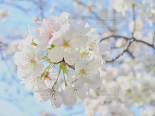 白い桜の写真・画像素材[1091985]