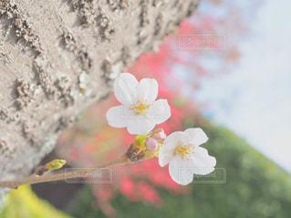 樹木から生える一輪の桜の写真・画像素材[1091988]