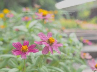 近くの花のアップの写真・画像素材[1558130]