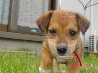 草の中に座っている犬の写真・画像素材[1063457]
