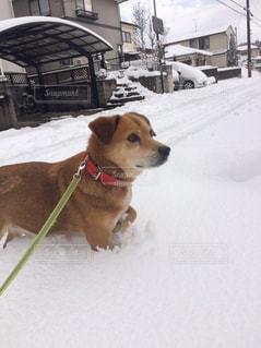 雪の中で座っている大規模な茶色の犬の写真・画像素材[1067108]