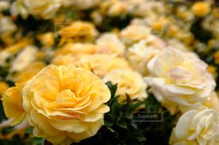 近くの花のアップの写真・画像素材[1178357]