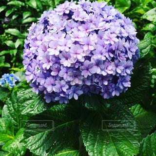 近くの植物に紫の花のアップの写真・画像素材[1159592]