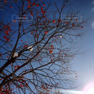冬の柿の木の写真・画像素材[1059535]
