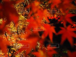 紅葉アップの写真・画像素材[1073227]