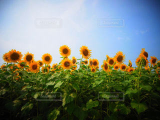 近くの花のアップの写真・画像素材[1078157]