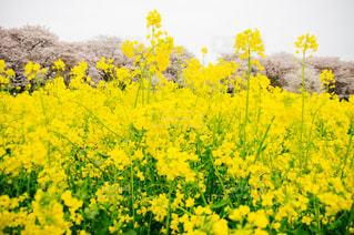 菜の花と桜の写真・画像素材[1150718]