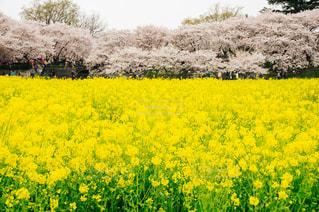 黄色とピンクのコントラストの写真・画像素材[1150719]