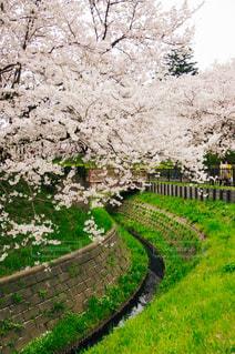 桜と小川の写真・画像素材[1151205]