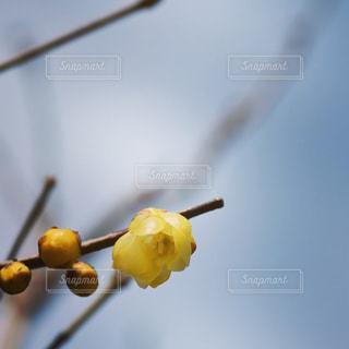 枝に咲く黄色い梅の写真・画像素材[1060007]