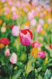 咲き誇るチューリップの写真・画像素材[2163780]