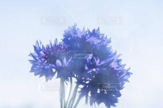 雨上がりの空にかざした青い花の写真・画像素材[3410172]