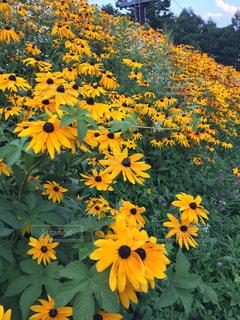 黄色の花の写真・画像素材[1061291]