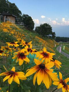 斜面に咲く黄色の花の写真・画像素材[1061292]