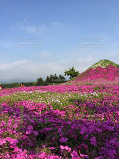 芝桜の山の写真・画像素材[1061297]