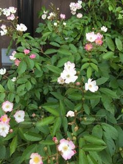 白とピンクの小花の写真・画像素材[1061298]