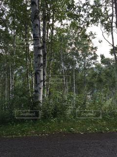 白樺林の写真・画像素材[1062204]