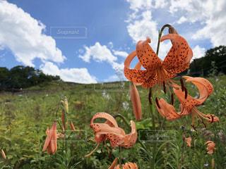 高山植物の写真・画像素材[1581339]