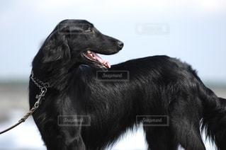 きれいな黒犬フラットコーテッドレトリバーの写真・画像素材[1060436]
