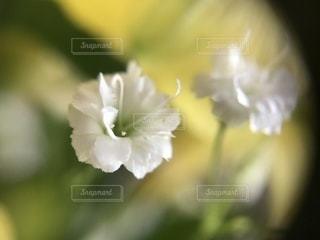 かすみ草のアップの写真・画像素材[1060617]