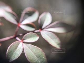 南天の葉のアップの写真・画像素材[1060618]