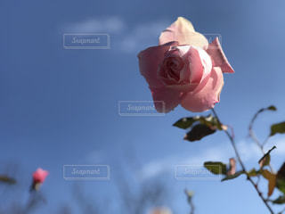 青空の下のピンクのバラの写真・画像素材[1063255]