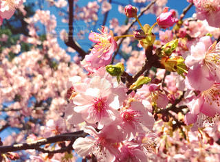 桜の花のアップの写真・画像素材[1065217]