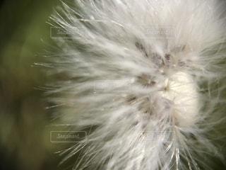 タンポポの綿毛のアップの写真・画像素材[1065225]