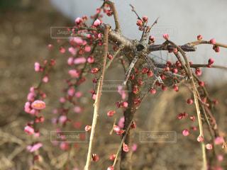 近くにクリスマス ツリーのアップ庭の小さな枝垂れ梅の写真・画像素材[1213912]